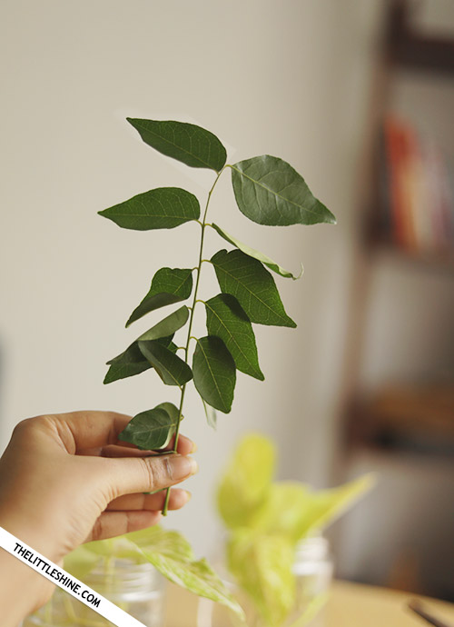 Benefits And Uses Of Curry Leaves